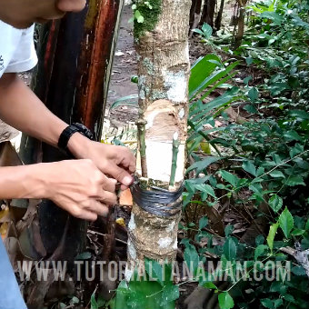 kombinasi toping dan top working tanaman