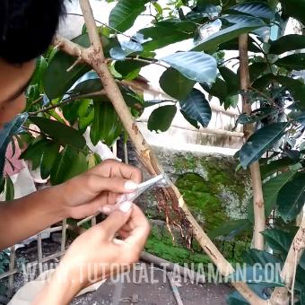 cara cangkok susu tanaman