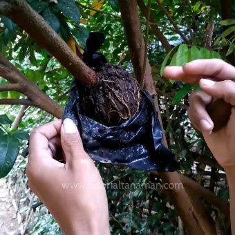 cara-mencangkok-pohon-kelengkeng-5