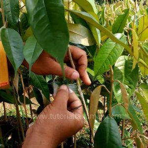 Cara Okulasi Durian Yang Baik Dan Benar