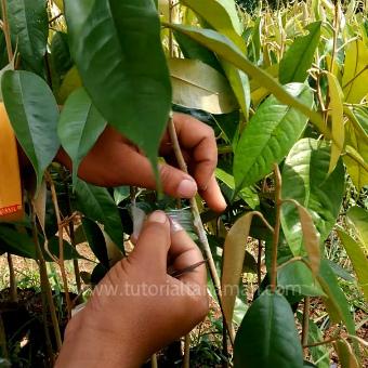 Cara Okulasi Durian Yang Baik Dan Benar Ikutilah 9 Langkah Berikut
