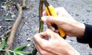 cara okulasi mangga
