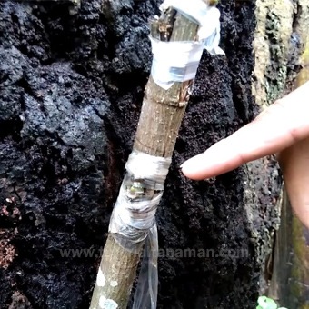 cara okulasi pohon nangka