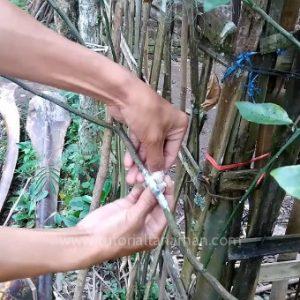 Cara Okulasi Tanaman Jeruk Yang Baik Dan Benar