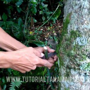 cara sambung pucuk tanaman