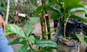 cara sambung sisip pohon alpukat